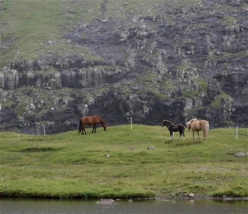Pferd-Färöerpony006