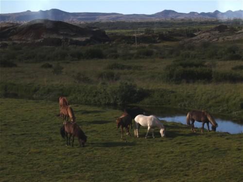 Pferd-Islandpferd001