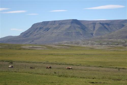 Pferd-Islandpferd003