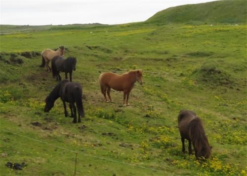 Pferd-Islandpferd006