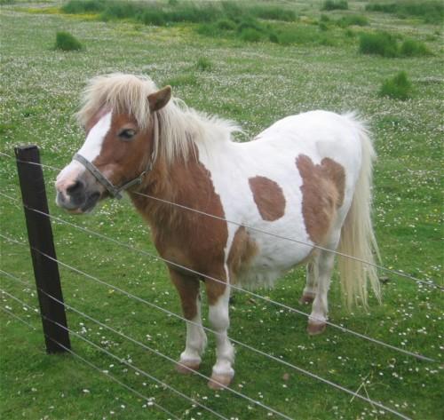 Pferd-Shetlandpony001