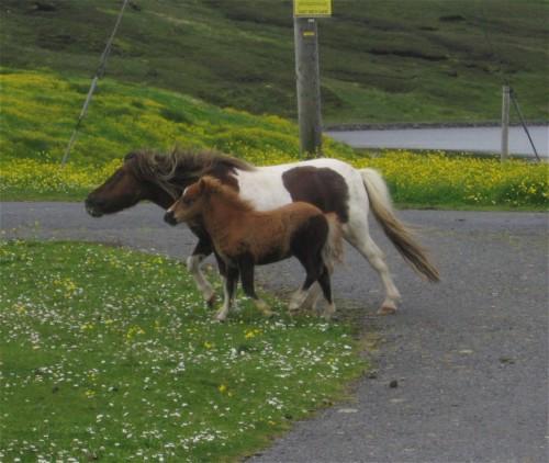 Pferd-Shetlandpony002
