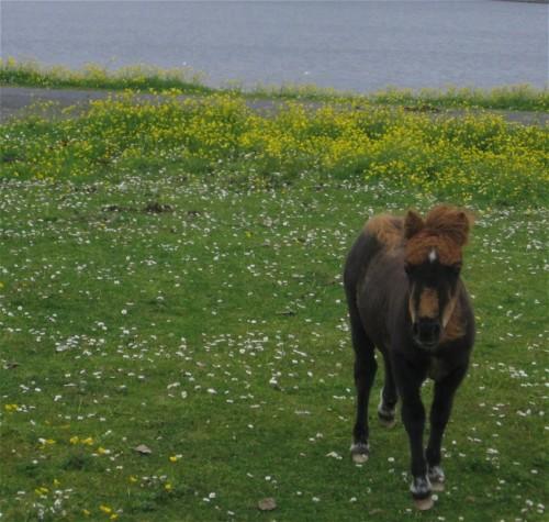 Pferd-Shetlandpony003