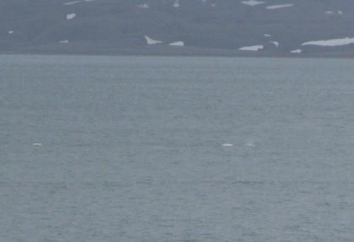 Wal - Beluga