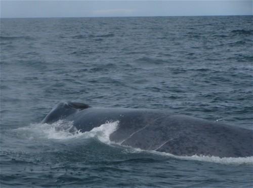 Wal - Blauwal