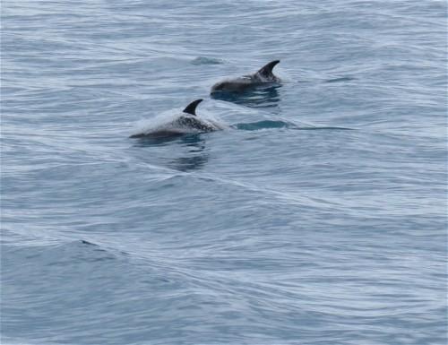 Wal-Weißschnauzendelfin002