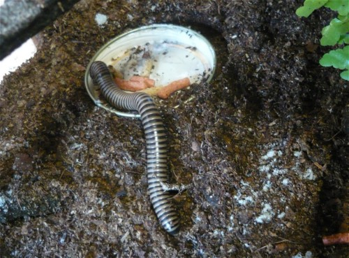2013 - Tausendfüßer - Spirobolus bungii