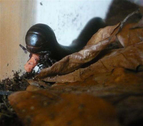 2014 - Tausendfüßer - Mardonius parilis acuticonus-003
