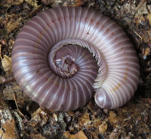 2015 - Tausendfüßer - Mardonius parilis acuticonus-004